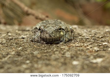 Tiny tree frog head on shot on concrete step.