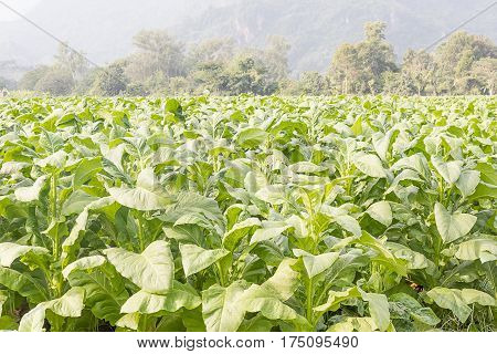Field Nicotiana tabacum the Common tobacco is an annually-growing herbaceous plant