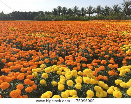 Flower Plantation At Sunny Day In Sa Dec, Vietnam