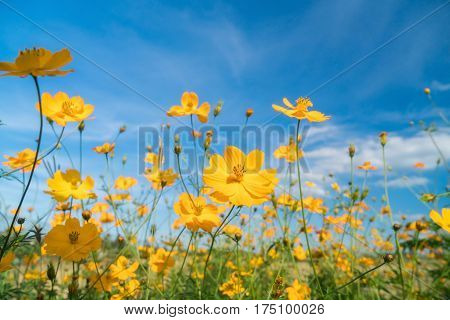 yellow cosmos flower (Cosmos Bipinnatus) with blue sky background in the garden.