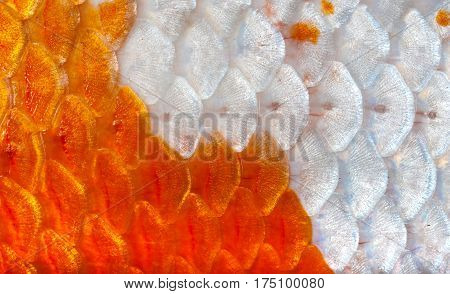 Closeup To Orange And White Shining Koi Fish Scale Background