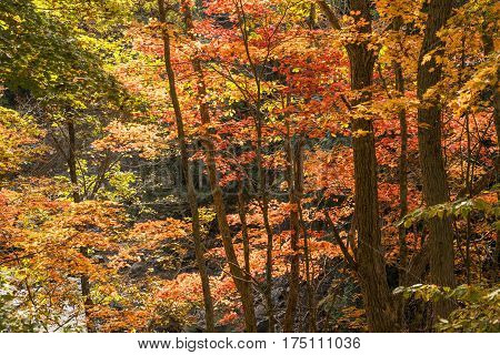 Autumn bright maple tree leaves in Minakami, Gunma