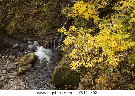 Autumn yellow oak leaves(Quercus crispula Blume) above brook in Minakami, Gumna