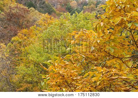 Autumn japanese horse chestnut leaves(Aesculus turbinata) in Minakami, Gumna