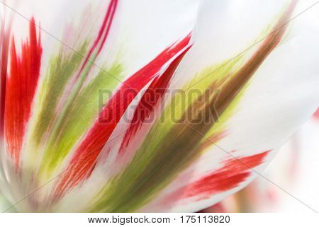 Close-up of fresh lush white transparent tulip petals with red and light green details and streaks a blurred floral background with details.