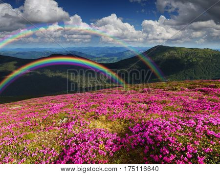 Summer landscape with a blooming rhododendron. Mountain flowers and a rainbow