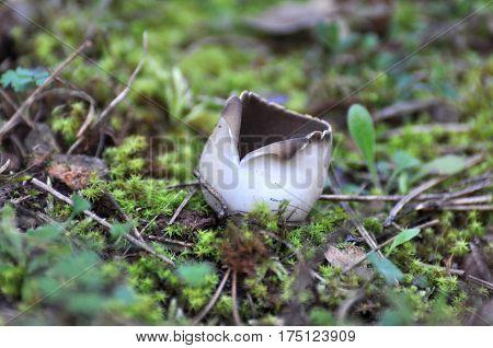 Black Mushroom Cup Fungi,Helvella leucomelaena in moss