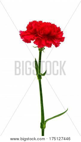 carnation Beautiful flower isolated on white background