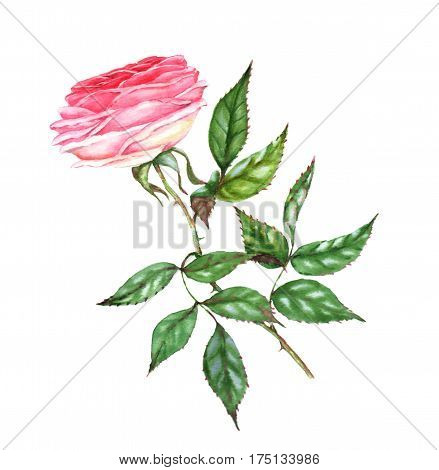 Hand-drawn watercolor illustration of the pink tender rose. Romantic spring floral drawing. Single flower isolated on the white background