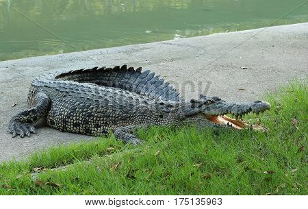 Crocodiles Resting At Crocodile Farm In Thailand