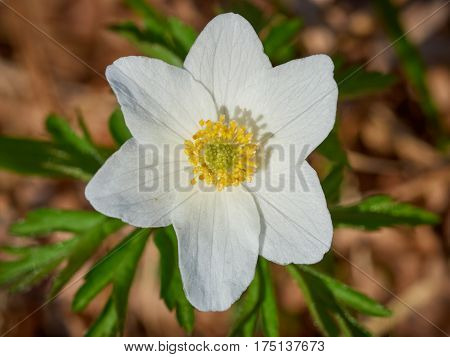 Wood Anemone Growing Wild In The Forest In Springtime