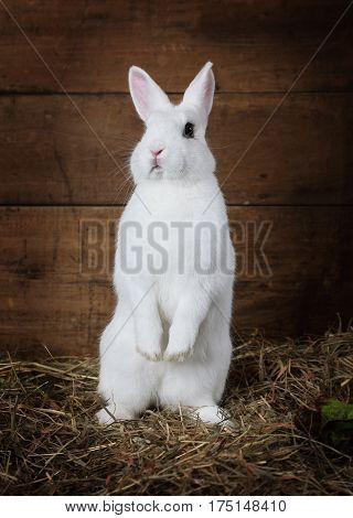 Funny white fluffy rabbit standing on hind legs indoors