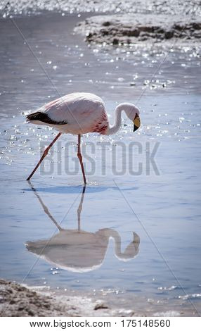 One pink flamingo in the Hedionda lagoon and its reflection in water Bolivia South America