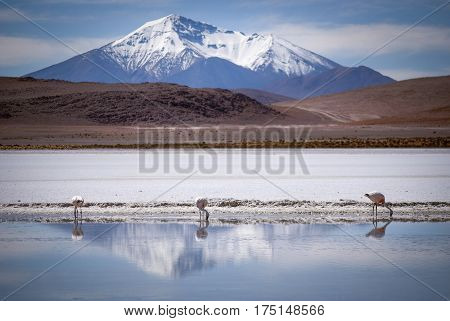 Snow peaked mountains reflect in a blue lake where three flamingos stand Bolivia