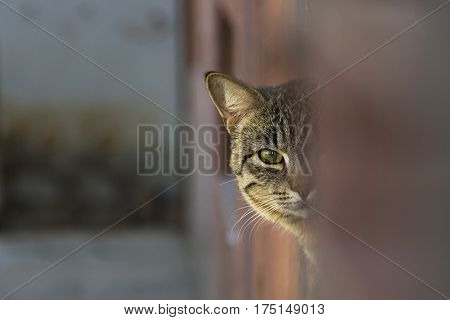 Cat peeking from behind the wall blurred background pet