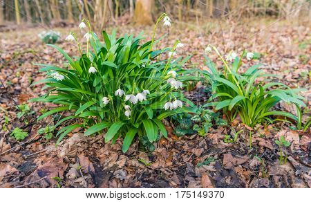 White blossoming spring snowflake or Leucojum vernum plants between brown fallen tree leaves on the floor of a wild natural forest.