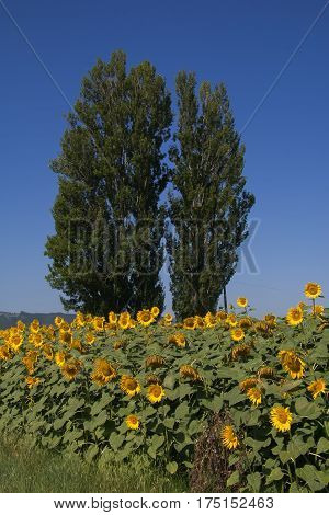 Typical rural umbria landscape in the summer: sunflowers and poplars