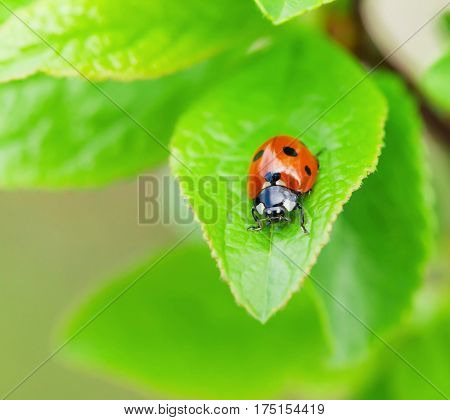 Ladybug on green leaf in garden. View with copy space