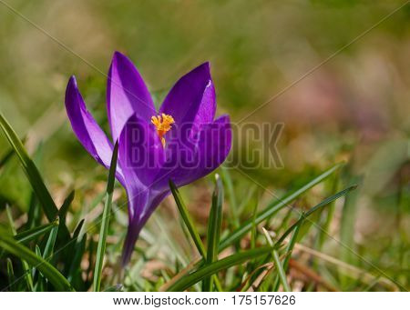 Early blooming specie crocus blooming in a lawn.