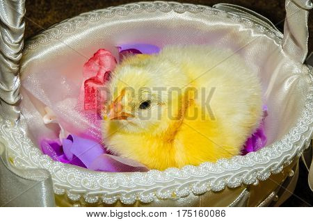 A baby chicken in a white Easter basket