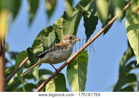 Young Red-backed shrike (Lanius collurio) bird on branch