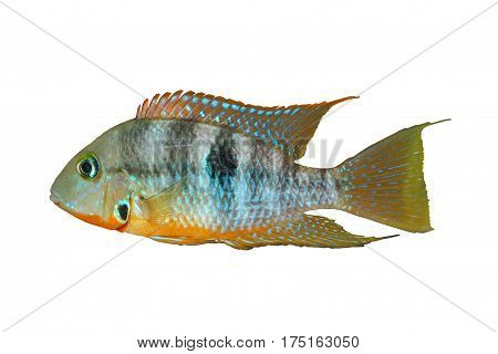 Yellow Fire Mouth (Thorichthys affinis) - male isolated