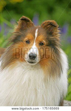 Shetland Sheepdog portrait Head close up, standing in garden
