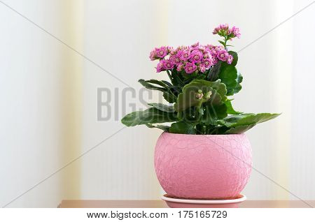 A Blossoming Pink Kalanchoe in a pot
