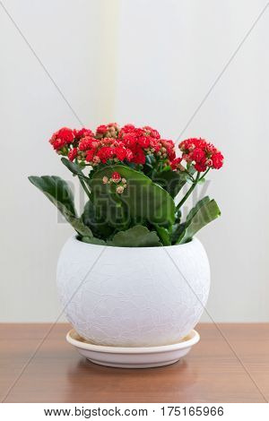 Red flowering Kalanchoe in a white pot