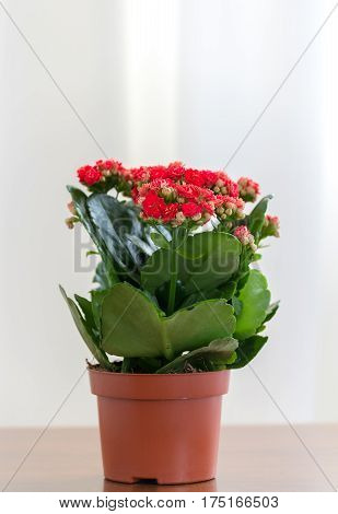 A Red flowering Kalanchoe in a pot