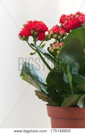 Red flowering Kalanchoe on a light background