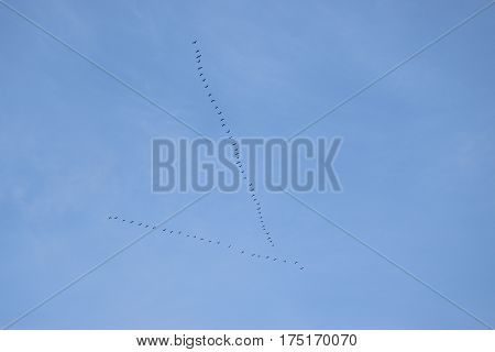 Flock of geese flies in V formation, during their winter migration.