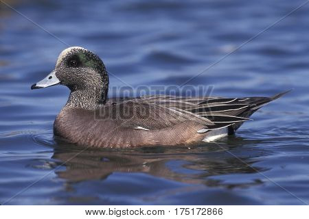 An American Wigeon duck on a pond in New Jersey in March