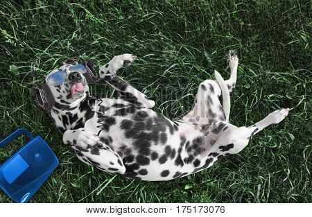 Dalmayian dog listening to music with headphones or earphones, lying on grass at the park or meadow