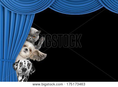 Cute dogs and cat hiding behind the curtain isolated on black