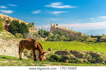 Mule on a pasture in Fes - Morocco