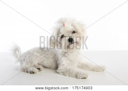 Maltichon puppy also Bichon Maltese doggy on white background