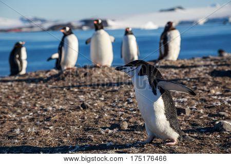 Chinstrap Penguin Running Among Gentoos On The Shore, South Shetland Islands, Antarctic