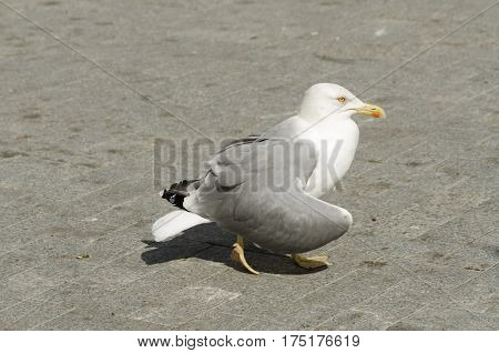 Bird in the center of Varna town. Yello-legged gull. Selective focus