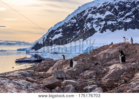 Gentoo Penguins Gathered On The Rocky Shore Of Neco Bay And Cruise Ship Int The Bakground, Antarctic