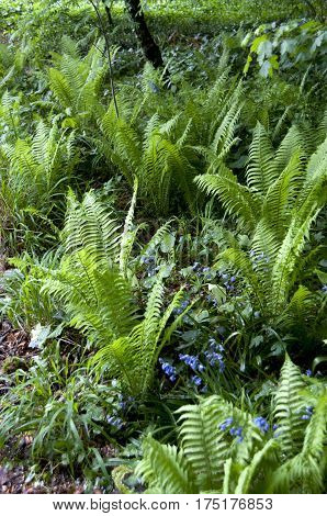 Ferns first appear in the fossil record 360 million years ago in the Devonian Era[5] but many of the current families and species did not appear until roughly 145 million years ago in the early Cretaceous after flowering plants came to dominate many envir