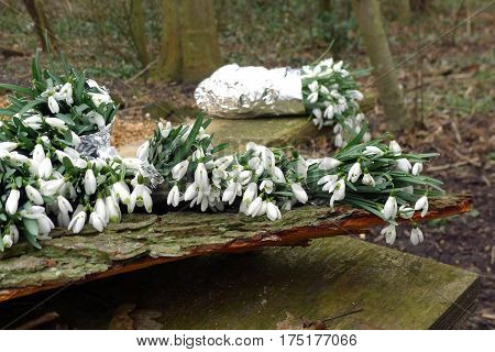 Flowering bulb Galanthus on a wooden table in a garden