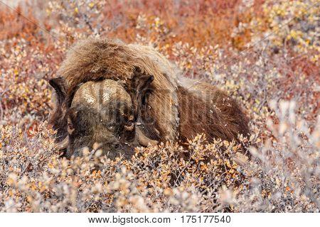 Furry Musk Ox Hiding In Bushes, Near Kangerlusuaq Village, Greenland