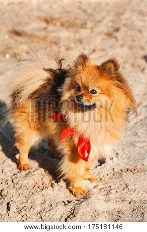 Spitz is staying on the sand with red bow and look away