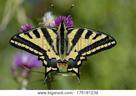 Oldworld Swallowtail (papilio Machaon)