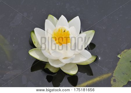 Waterlilly In Pool.