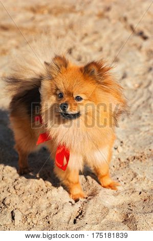 Spitz, dog, doggy, puppy is staying on the sand with red bow and looking to the left