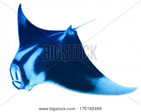 Oceanic Manta Ray isolated on white background