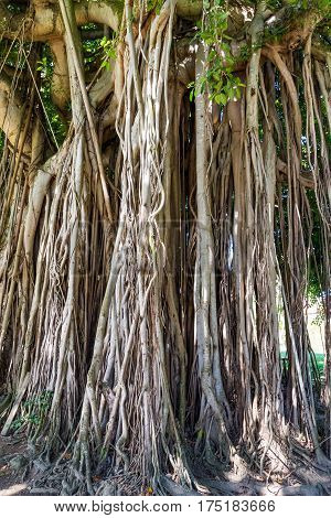Roots on an ancient banyan tree on Dominica