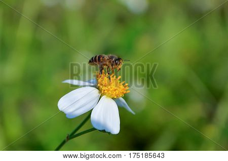 Bee on Cosmos flower isolated. Bee working on white cosmos flower.